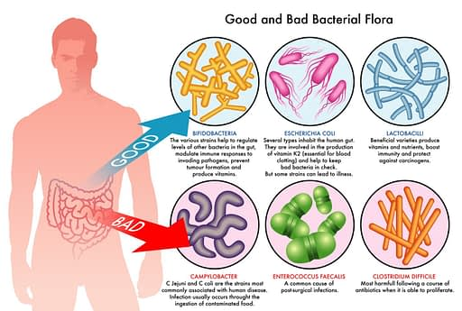 good and bad bacteria flora illustration